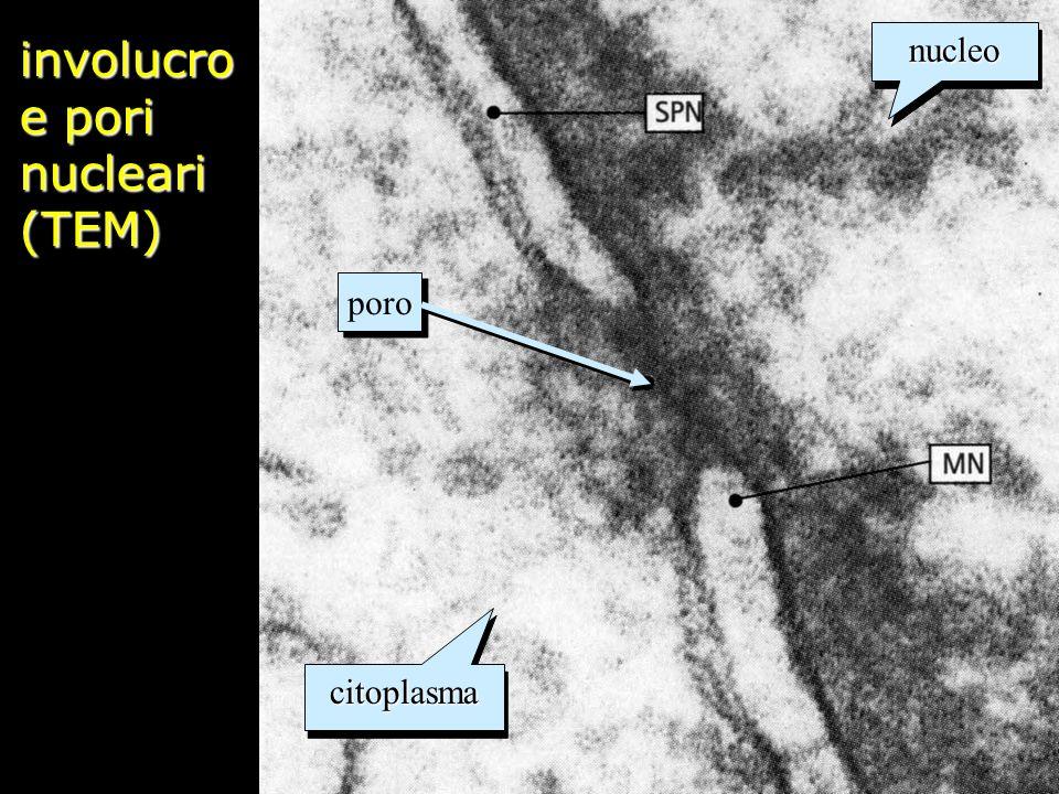 involucro e pori nucleari (TEM) citoplasmacitoplasma nucleonucleo poro