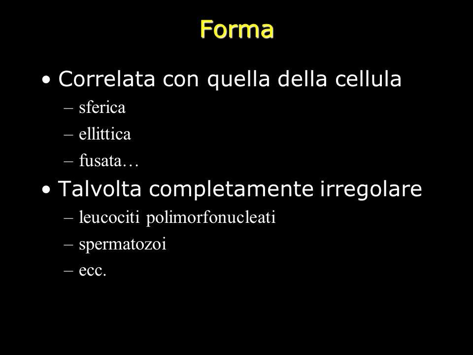 Forma Correlata con quella della cellula –sferica –ellittica –fusata… Talvolta completamente irregolare –leucociti polimorfonucleati –spermatozoi –ecc