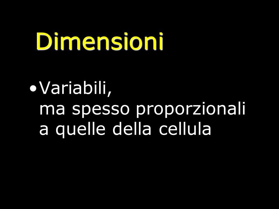 Dimensioni Variabili, ma spesso proporzionali a quelle della cellula