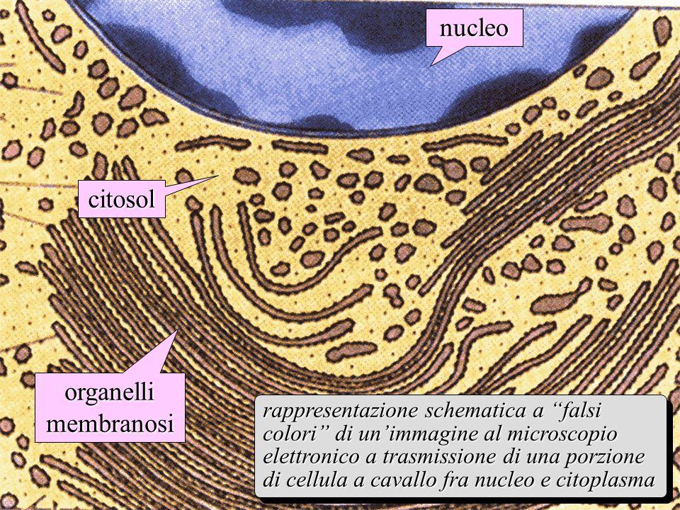 citosol nucleo rappresentazione schematica a falsi colori di unimmagine al microscopio elettronico a trasmissione di una porzione di cellula a cavallo