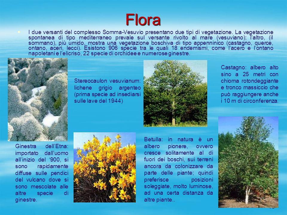 13 Flora I due versanti del complesso Somma-Vesuvio presentano due tipi di vegetazione. La vegetazione spontanea di tipo mediterraneo prevale sul vers