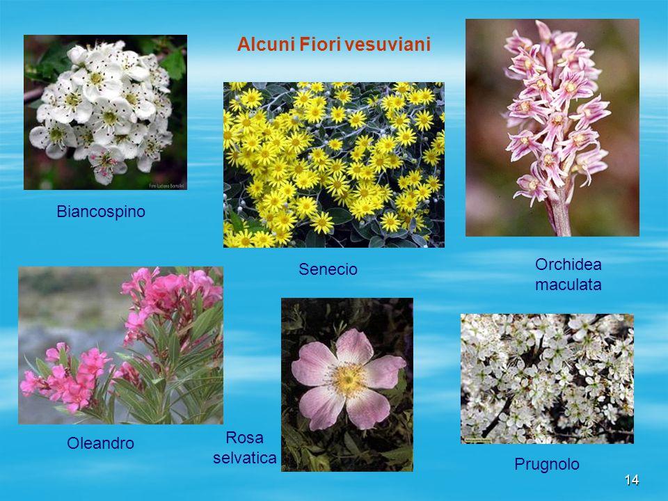 14 Biancospino Alcuni Fiori vesuviani Orchidea maculata Oleandro Rosa selvatica Senecio Prugnolo