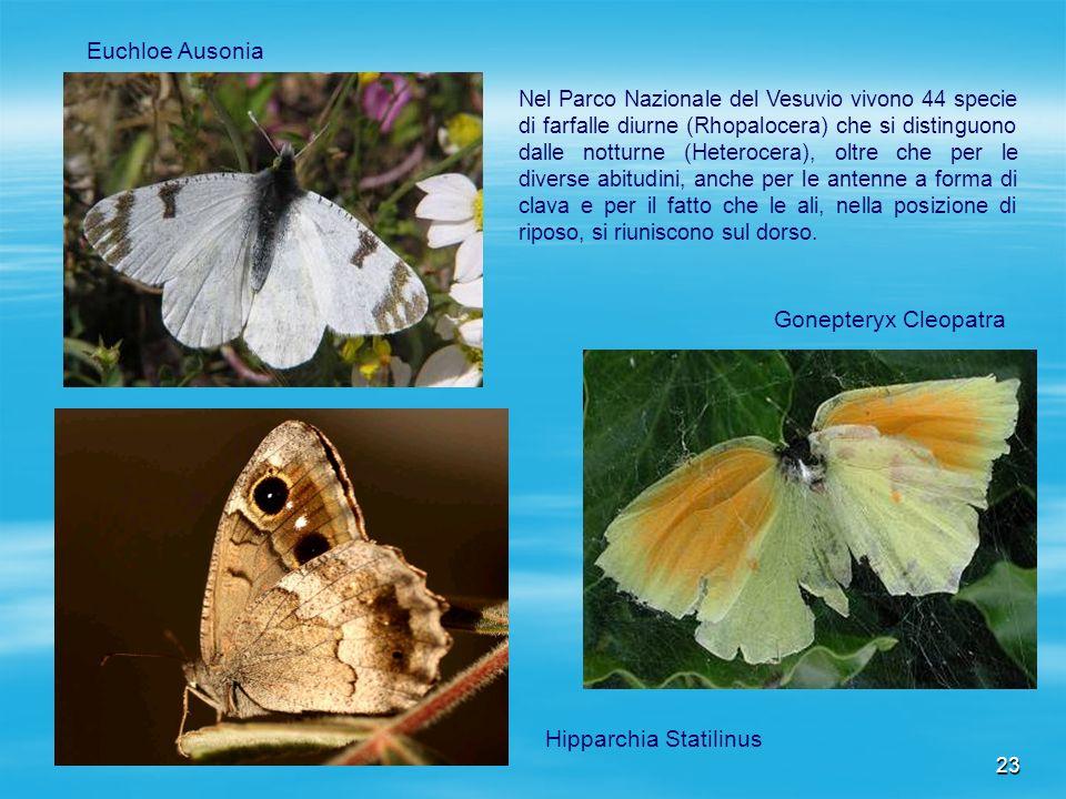 23 Euchloe Ausonia Gonepteryx Cleopatra Hipparchia Statilinus Nel Parco Nazionale del Vesuvio vivono 44 specie di farfalle diurne (Rhopalocera) che si
