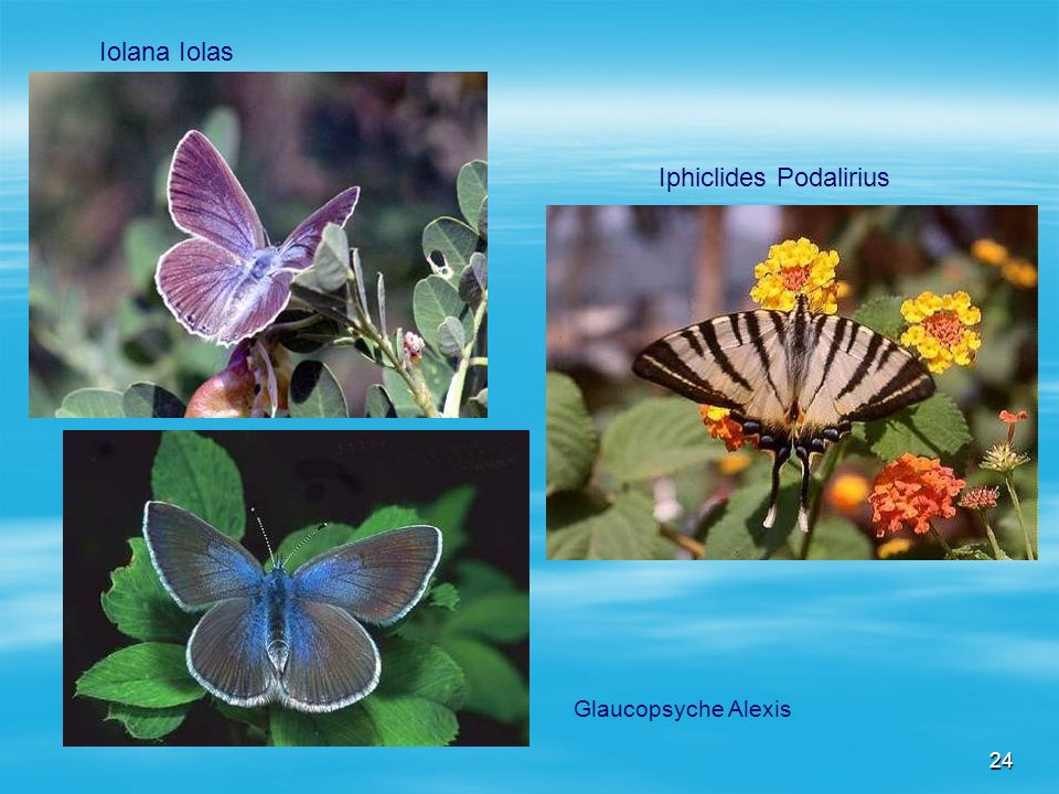 24 Iolana Iolas Iphiclides Podalirius Glaucopsyche Alexis
