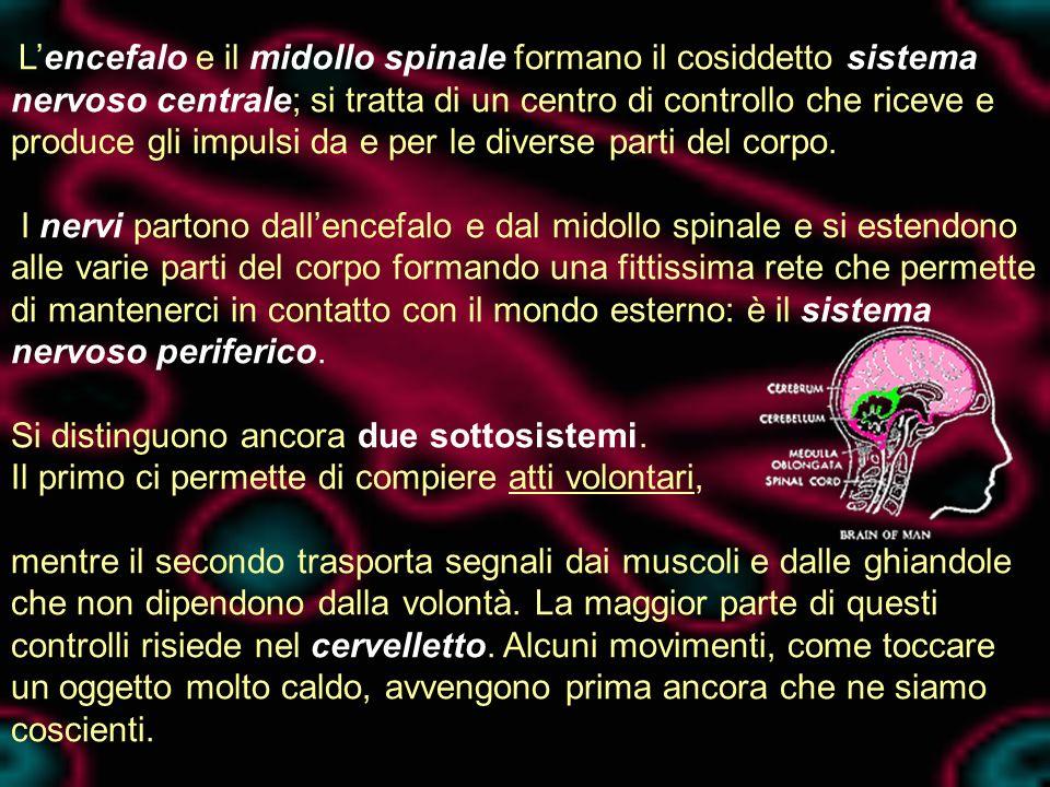 Lencefalo e il midollo spinale formano il cosiddetto sistema nervoso centrale; si tratta di un centro di controllo che riceve e produce gli impulsi da e per le diverse parti del corpo.