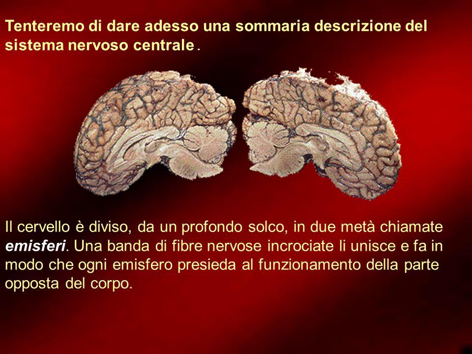 Tenteremo di dare adesso una sommaria descrizione del sistema nervoso centrale.