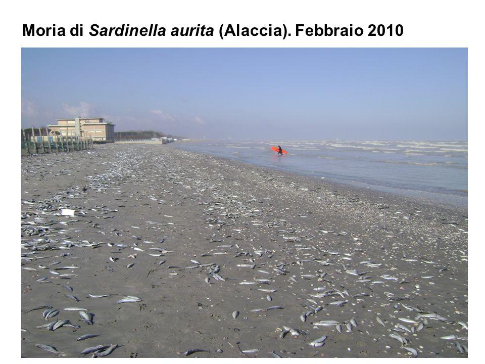 Moria di Sardinella aurita (Alaccia). Febbraio 2010
