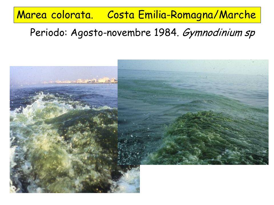 Marea colorata. Costa Emilia-Romagna/Marche Periodo: Agosto-novembre 1984. Gymnodinium sp