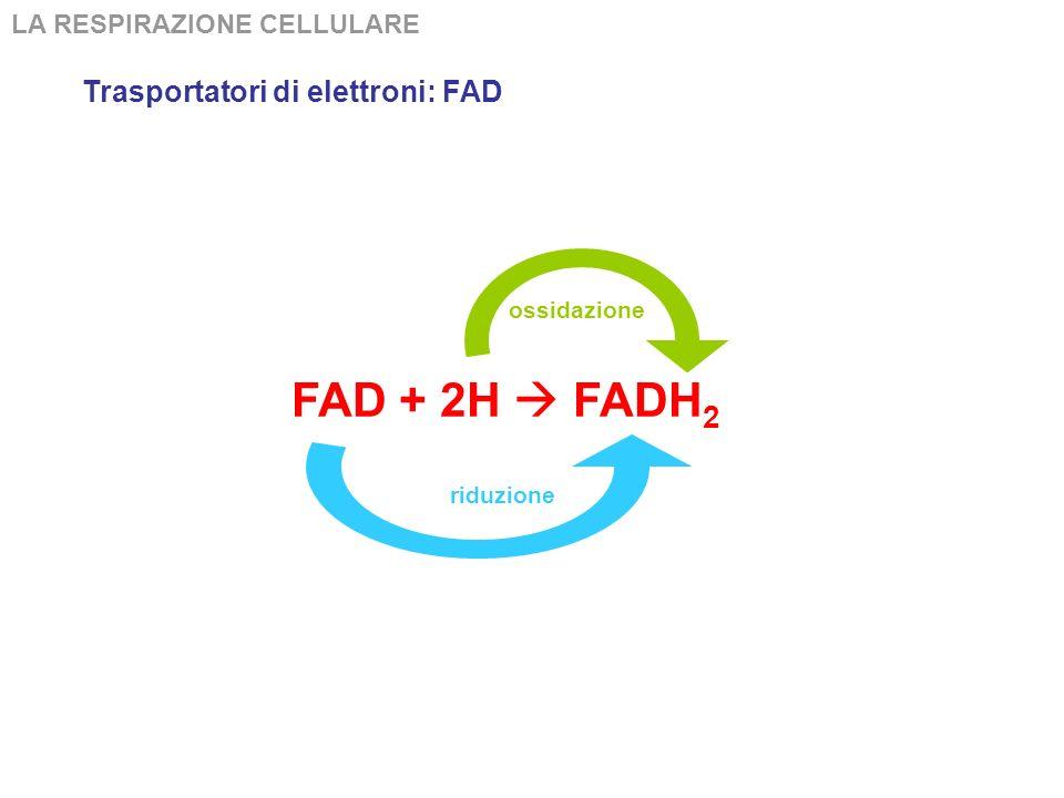 LA RESPIRAZIONE CELLULARE FAD + 2H FADH 2 La forma ridotta della Flavin Adenin Dinucleotide (FAD) è importantissima, perché interviene nelle reazioni