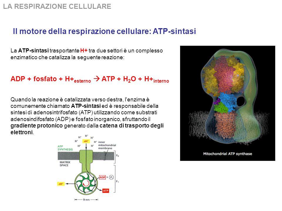 LA RESPIRAZIONE CELLULARE Trasportatori di elettroni: citocromi I citocromi sono proteine vettori di elettroni che permettono l'utilizzazione dell'oss