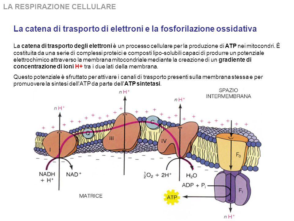 LA RESPIRAZIONE CELLULARE La ATP-sintasi trasportante H+ tra due settori è un complesso enzimatico che catalizza la seguente reazione: ADP + fosfato +