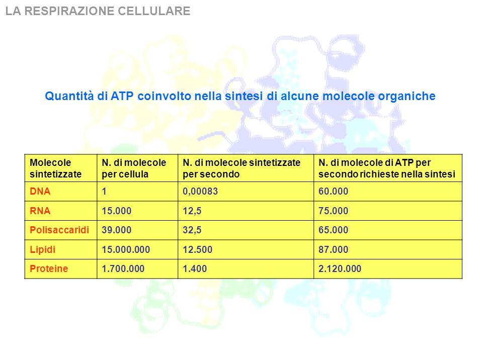 LA RESPIRAZIONE CELLULARE La ATP-sintasi trasportante H+ tra due settori è un complesso enzimatico che catalizza la seguente reazione: ADP + fosfato + H+ esterno ATP + H 2 O + H+ interno Quando la reazione è catalizzata verso destra, l enzima è comunemente chiamato ATP-sintasi ed è responsabile della sintesi di adenosintrifosfato (ATP) utilizzando come substrati adenosindifosfato (ADP) e fosfato inorganico, sfruttando il gradiente protonico generato dalla catena di trasporto degli elettroni.