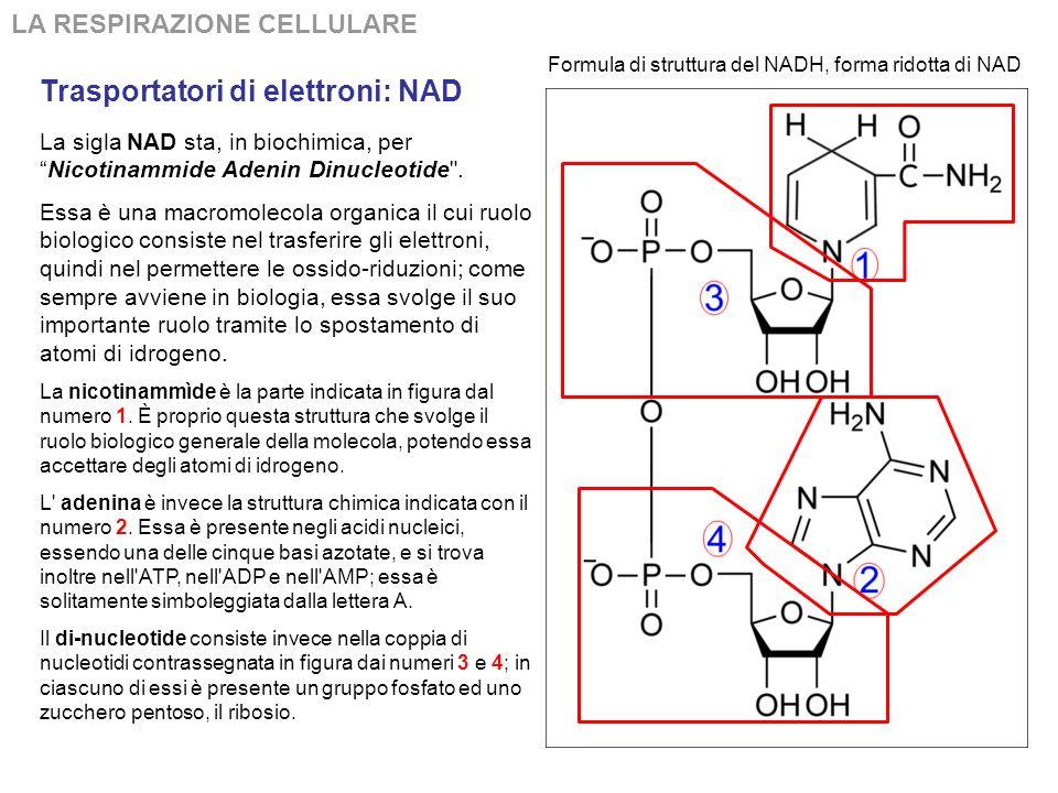 Trasportatori di elettroni: NAD LA RESPIRAZIONE CELLULARE La sigla NAD sta, in biochimica, perNicotinammide Adenin Dinucleotide .