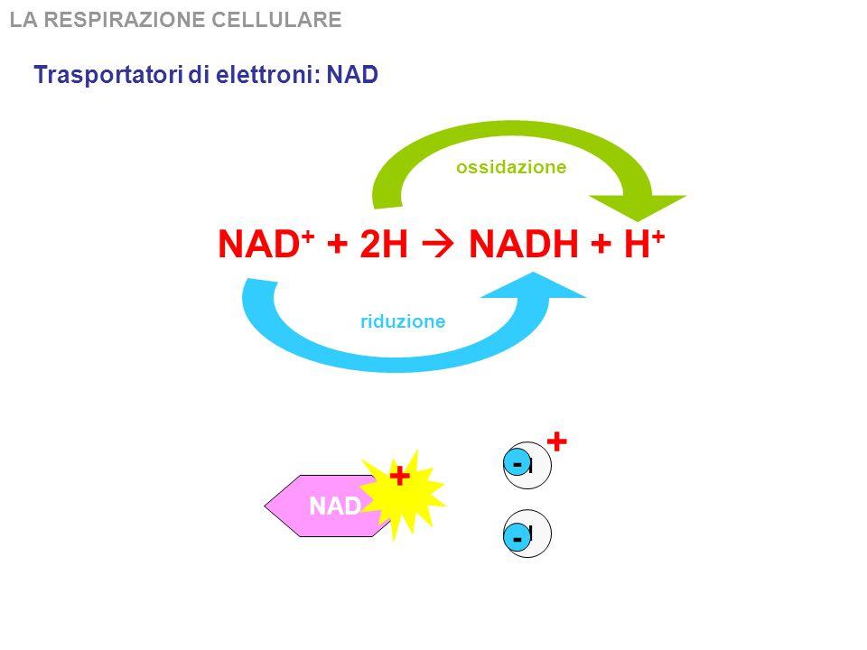 LA RESPIRAZIONE CELLULARE Verifica della comprensione Dove si accumulano gli ioni idrogeno H + nei mitocondri.