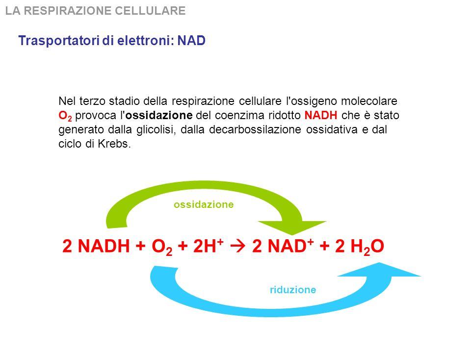 LA RESPIRAZIONE CELLULARE 2 NADH + O 2 + 2H + 2 NAD + + 2 H 2 O Nel terzo stadio della respirazione cellulare l ossigeno molecolare O 2 provoca l ossidazione del coenzima ridotto NADH che è stato generato dalla glicolisi, dalla decarbossilazione ossidativa e dal ciclo di Krebs.