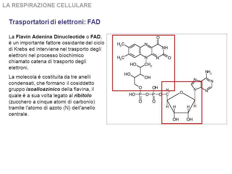 Trasportatori di elettroni: FAD LA RESPIRAZIONE CELLULARE La Flavin Adenina Dinucleotide o FAD, è un importante fattore ossidante del ciclo di Krebs ed interviene nel trasporto degli elettroni nel processo biochimico chiamato catena di trasporto degli elettroni.