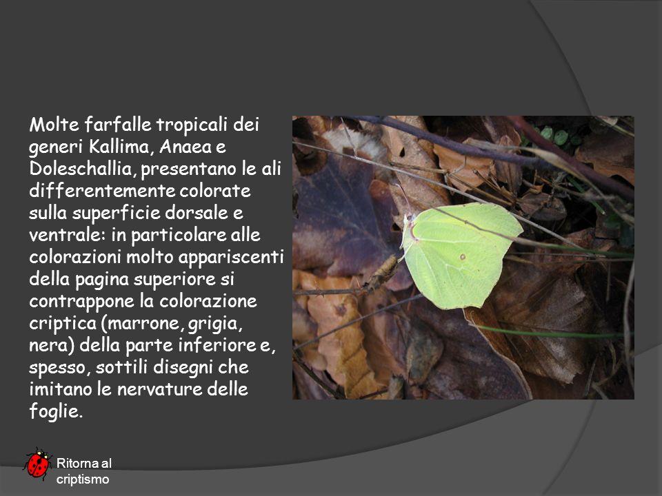 Molte farfalle tropicali dei generi Kallima, Anaea e Doleschallia, presentano le ali differentemente colorate sulla superficie dorsale e ventrale: in
