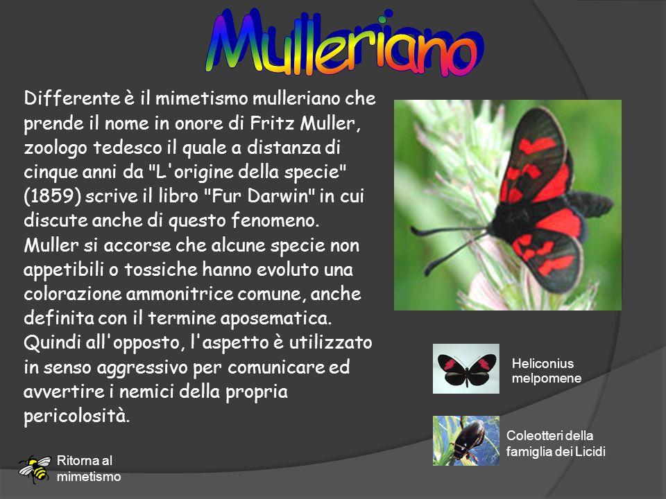 Differente è il mimetismo mulleriano che prende il nome in onore di Fritz Muller, zoologo tedesco il quale a distanza di cinque anni da