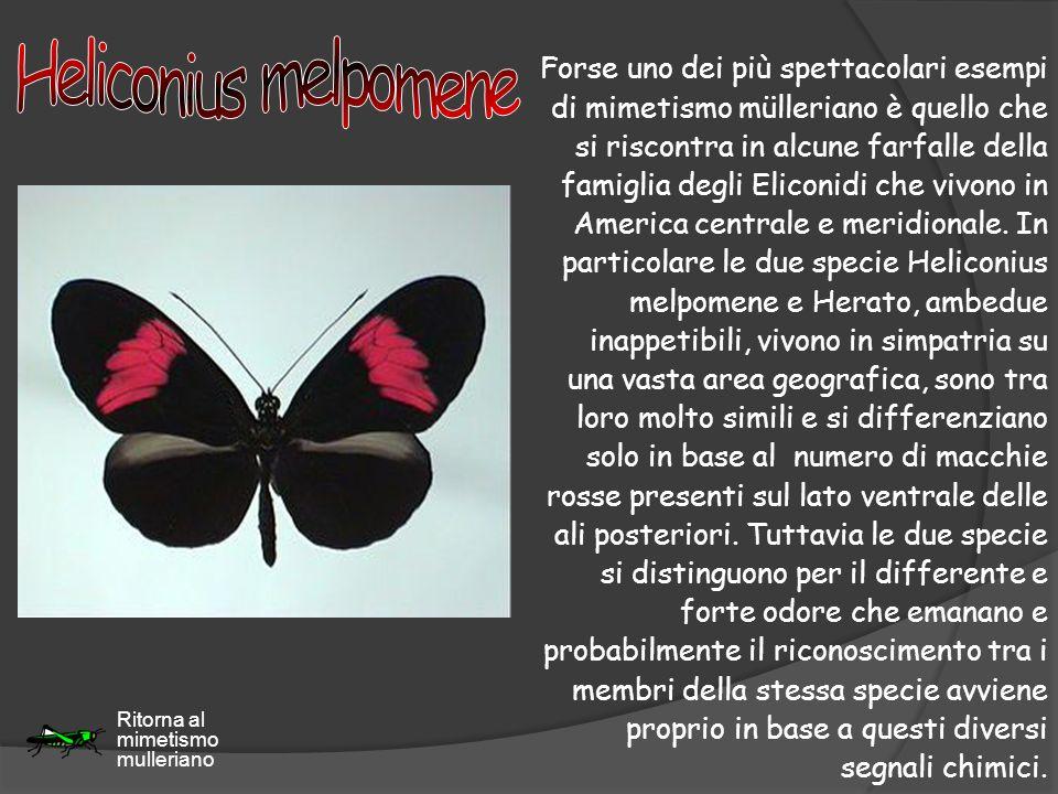 Forse uno dei più spettacolari esempi di mimetismo mülleriano è quello che si riscontra in alcune farfalle della famiglia degli Eliconidi che vivono i