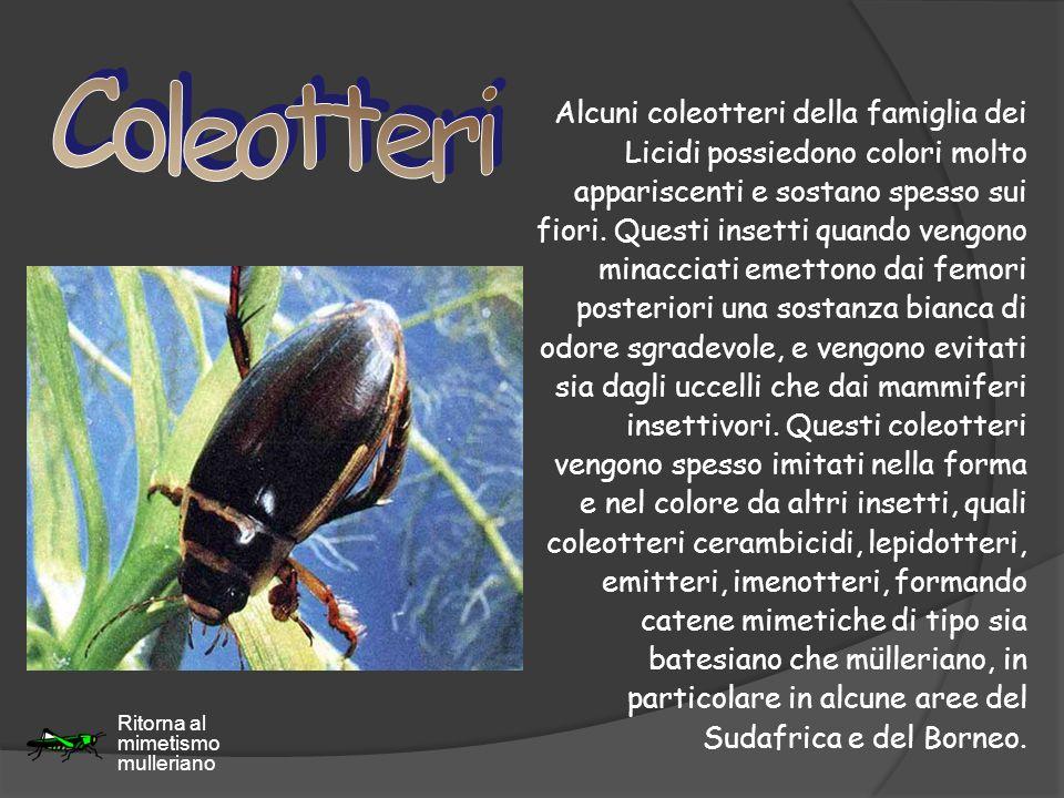 Alcuni coleotteri della famiglia dei Licidi possiedono colori molto appariscenti e sostano spesso sui fiori. Questi insetti quando vengono minacciati