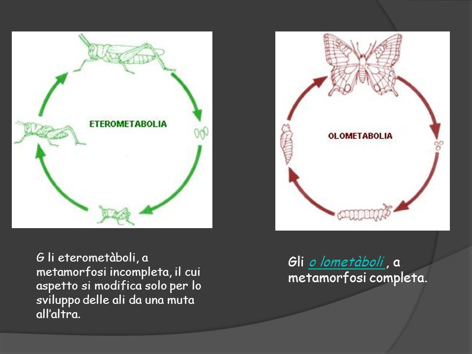 G li eterometàboli, a metamorfosi incompleta, il cui aspetto si modifica solo per lo sviluppo delle ali da una muta allaltra. Gli o lometàboli, a meta