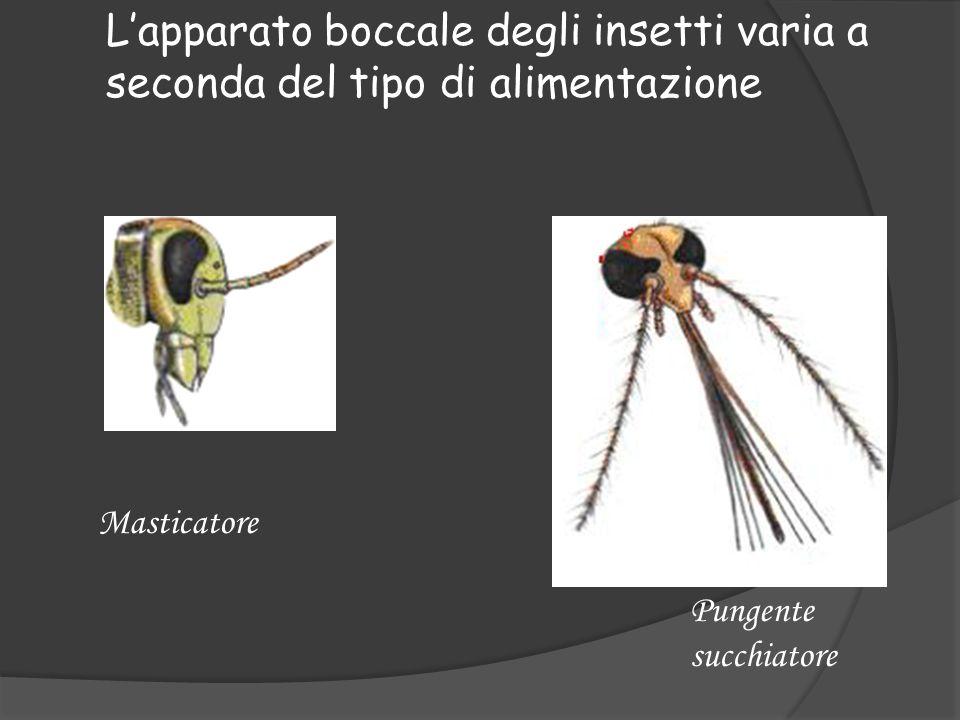 Lapparato boccale degli insetti varia a seconda del tipo di alimentazione Masticatore Pungente succhiatore
