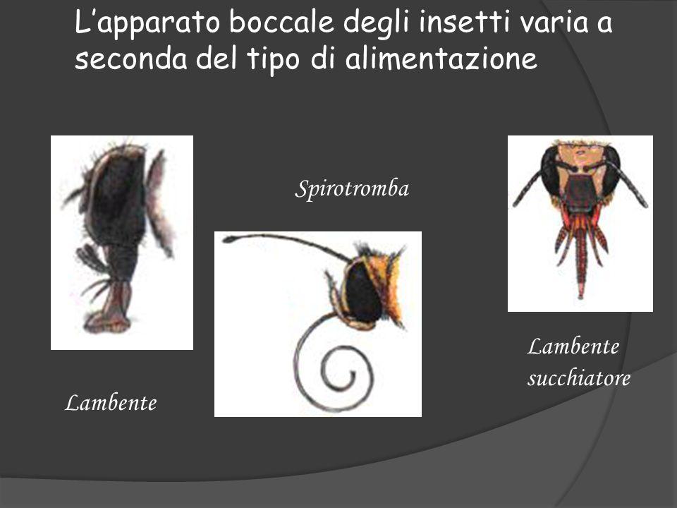 Lapparato boccale degli insetti varia a seconda del tipo di alimentazione Lambente Spirotromba Lambente succhiatore