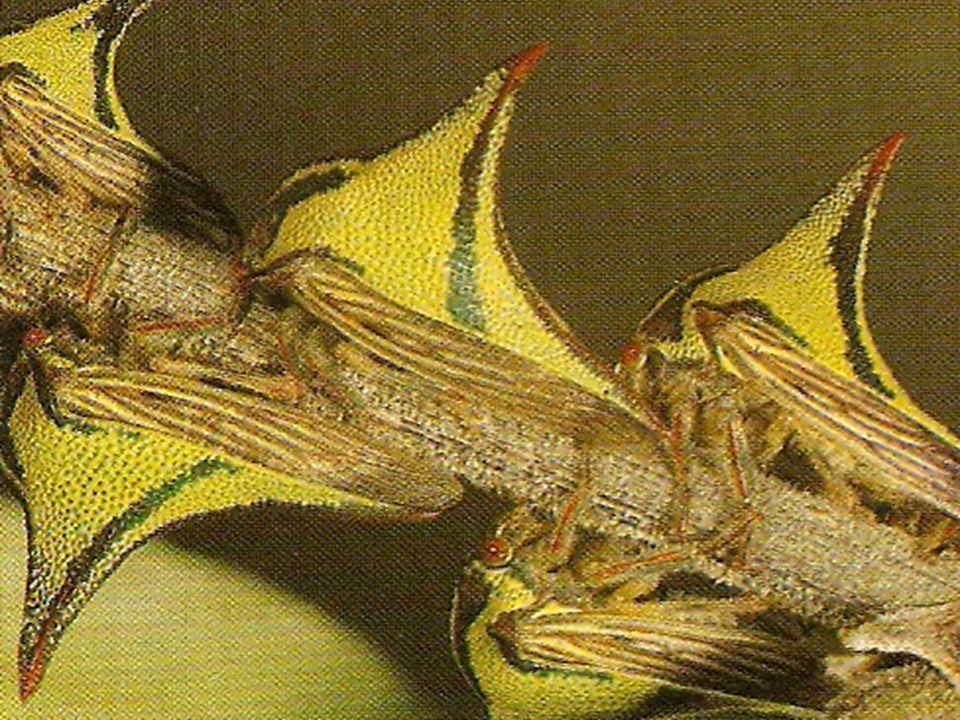 G li eterometàboli, a metamorfosi incompleta, il cui aspetto si modifica solo per lo sviluppo delle ali da una muta allaltra.