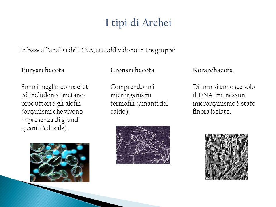 In base allanalisi del DNA, si suddividono in tre gruppi: Euryarchaeota Sono i meglio conosciuti ed includono i metano- produttori e gli alofili (orga