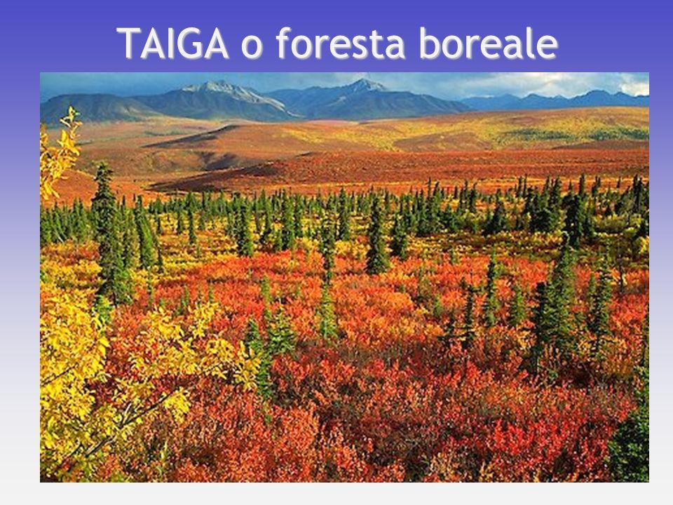 TAIGA o foresta boreale