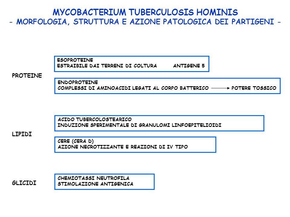MYCOBACTERIUM TUBERCULOSIS HOMINIS - MORFOLOGIA, STRUTTURA E AZIONE PATOLOGICA DEI PARTIGENI - PROTEINE ESOPROTEINE ESTRAIBILE DAI TERRENI DI COLTURA ANTIGENE 5 ENDOPROTEINE COMPLESSI DI AMINOACIDI LEGATI AL CORPO BATTERICOPOTERE TOSSICO LIPIDI ACIDO TUBERCOLOSTEARICO INDUZIONE SPERIMENTALE DI GRANULOMI LINFOEPITELIOIDI CERE (CERA D) AZIONE NECROTIZZANTE E REAZIONI DI IV TIPO GLICIDI CHEMIOTASSI NEUTROFILA STIMOLAZIONE ANTIGENICA