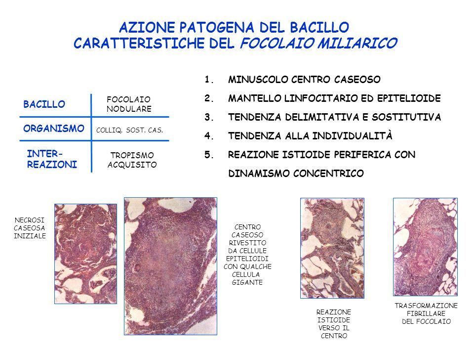 AZIONE PATOGENA DEL BACILLO CARATTERISTICHE DEL FOCOLAIO MILIARICO NECROSI CASEOSA INIZIALE CENTRO CASEOSO RIVESTITO DA CELLULE EPITELIOIDI CON QUALCHE CELLULA GIGANTE REAZIONE ISTIOIDE VERSO IL CENTRO TRASFORMAZIONE FIBRILLARE DEL FOCOLAIO 1.MINUSCOLO CENTRO CASEOSO 2.MANTELLO LINFOCITARIO ED EPITELIOIDE 3.TENDENZA DELIMITATIVA E SOSTITUTIVA 4.TENDENZA ALLA INDIVIDUALITÀ 5.REAZIONE ISTIOIDE PERIFERICA CON DINAMISMO CONCENTRICO FOCOLAIO NODULARE BACILLO ORGANISMO COLLIQ.