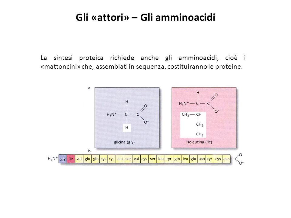 Gli «attori» – Gli amminoacidi La sintesi proteica richiede anche gli amminoacidi, cioè i «mattoncini» che, assemblati in sequenza, costituiranno le p