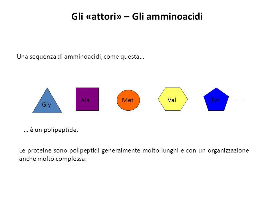 Gli «attori» – Gli amminoacidi Una sequenza di amminoacidi, come questa… Gly Ala Met ValTyr … è un polipeptide. Le proteine sono polipeptidi generalme