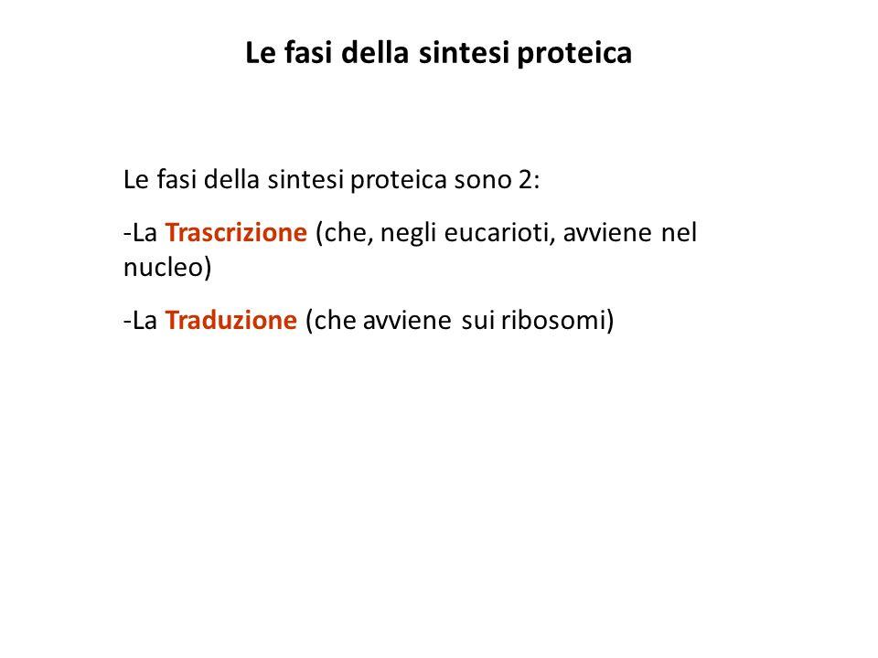 Le fasi della sintesi proteica Le fasi della sintesi proteica sono 2: -La Trascrizione (che, negli eucarioti, avviene nel nucleo) -La Traduzione (che