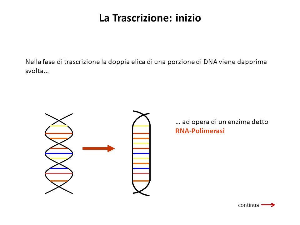 La Trascrizione: inizio Nella fase di trascrizione la doppia elica di una porzione di DNA viene dapprima svolta… … ad opera di un enzima detto RNA-Pol