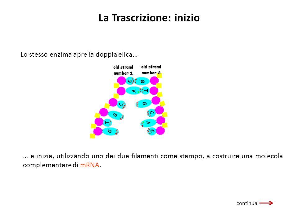 La Trascrizione: inizio continua Lo stesso enzima apre la doppia elica… … e inizia, utilizzando uno dei due filamenti come stampo, a costruire una mol