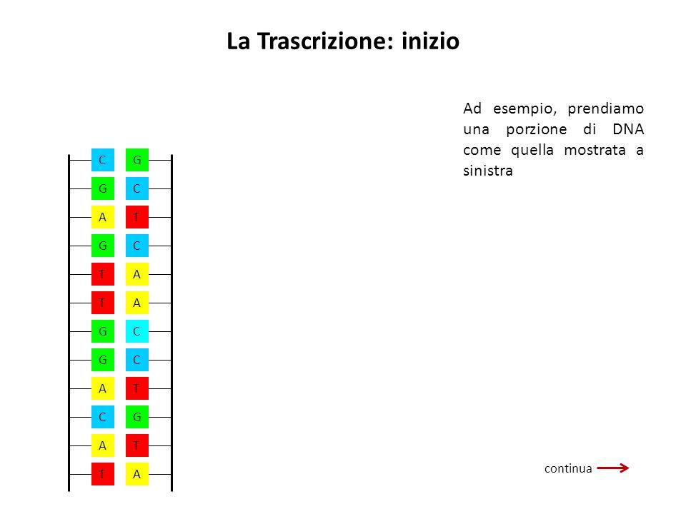 La Trascrizione: inizio continua Ad esempio, prendiamo una porzione di DNA come quella mostrata a sinistra A G T T G G A C T A C G A A A C G T T C C T