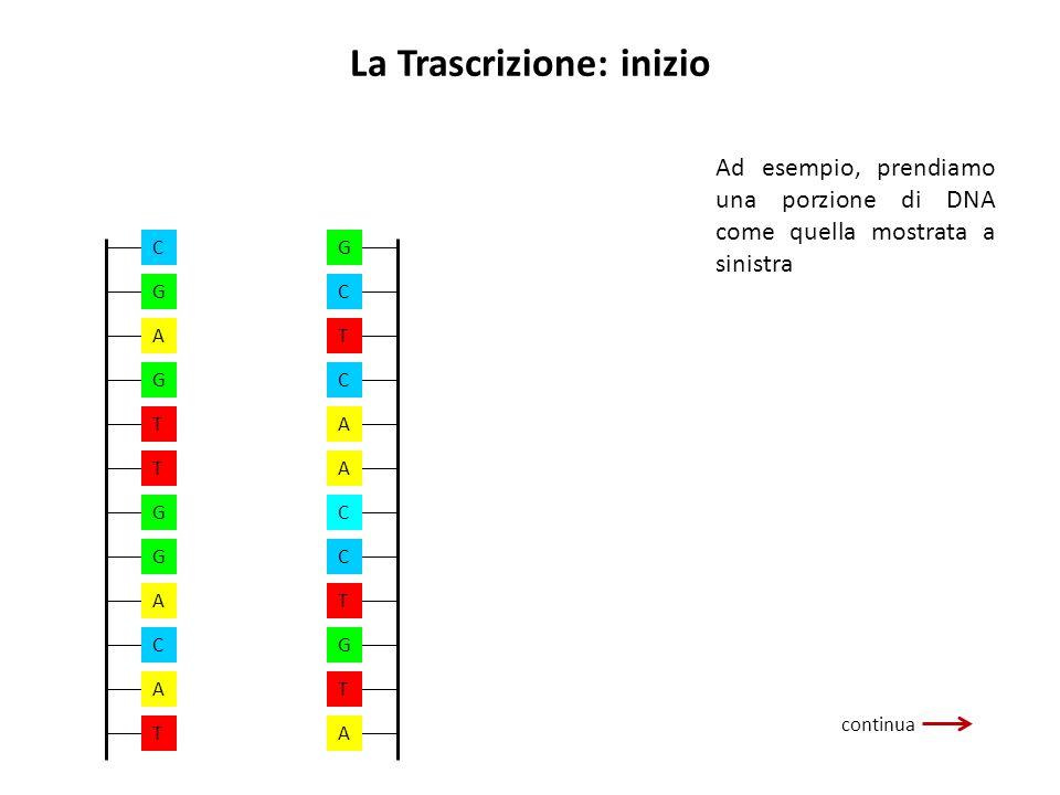 La Trascrizione: inizio continua Ad esempio, prendiamo una porzione di DNA come quella mostrata a sinistra A A A C G T T C C T G C A G T T G G A C T A