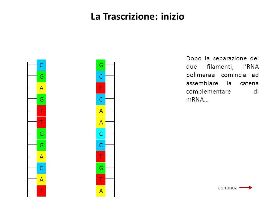 La Trascrizione: inizio continua Dopo la separazione dei due filamenti, lRNA polimerasi comincia ad assemblare la catena complementare di mRNA… A A A