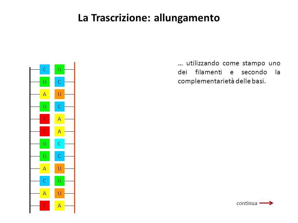 La Trascrizione: allungamento continua … utilizzando come stampo uno dei filamenti e secondo la complementarietà delle basi. GCUCAACCUGUA A G T T G G