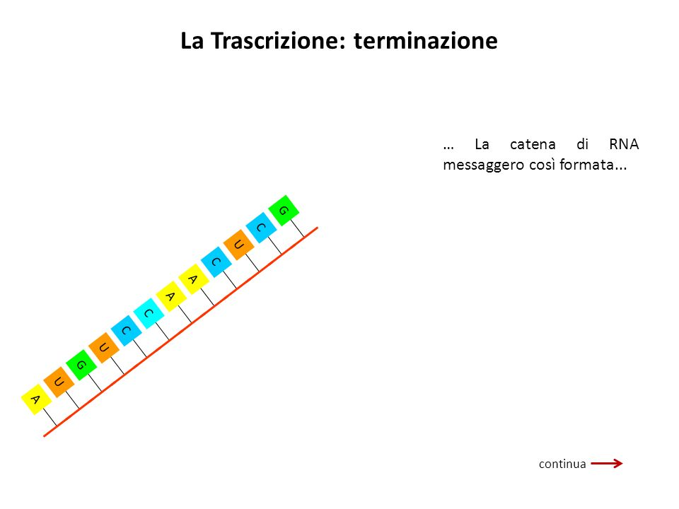 La Trascrizione: terminazione … La catena di RNA messaggero così formata... G C U C A A C C U G U A continua