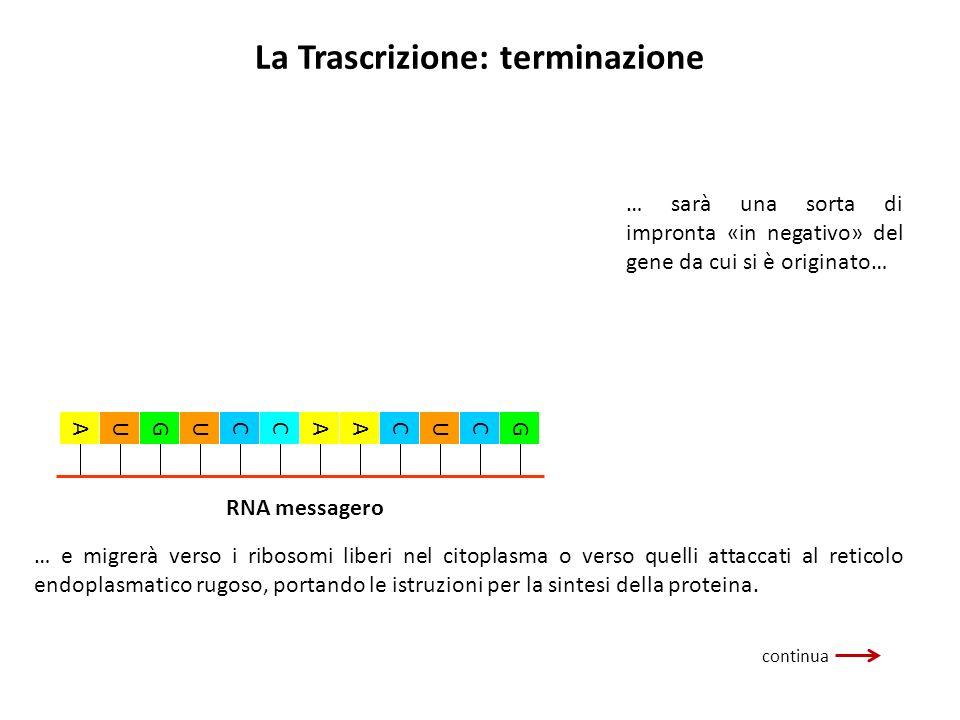 La Trascrizione: terminazione … sarà una sorta di impronta «in negativo» del gene da cui si è originato… … e migrerà verso i ribosomi liberi nel citop