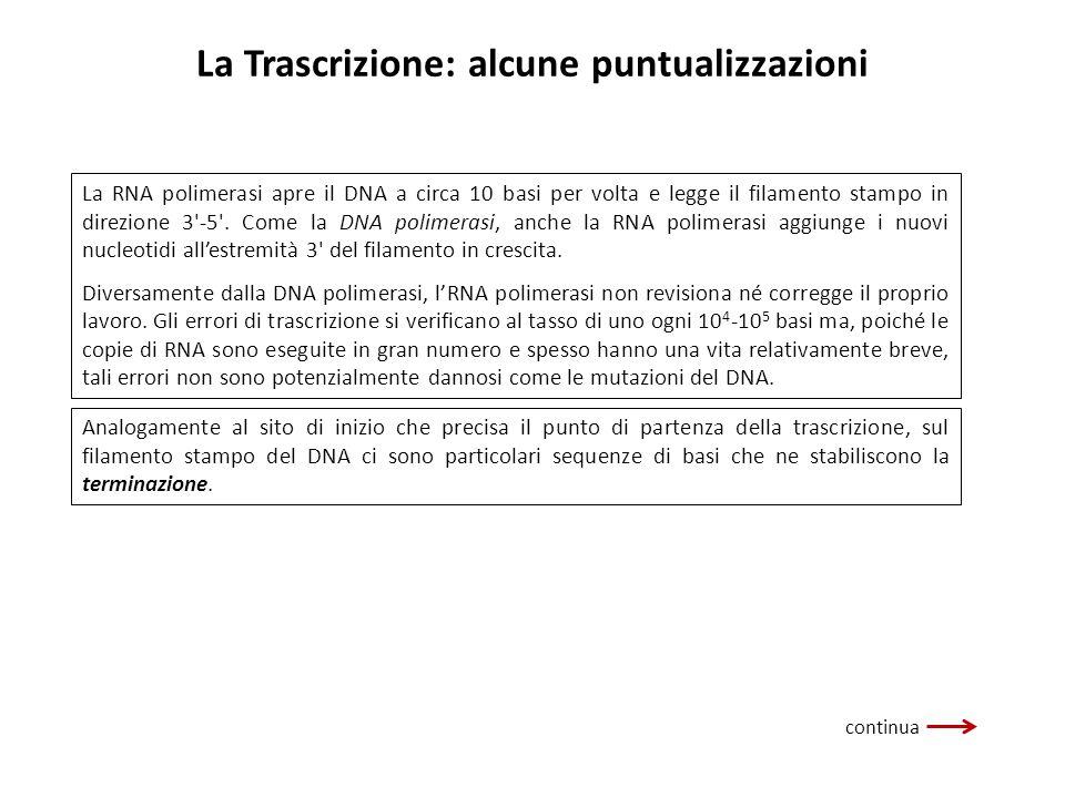 La Trascrizione: alcune puntualizzazioni La RNA polimerasi apre il DNA a circa 10 basi per volta e legge il filamento stampo in direzione 3'-5'. Come