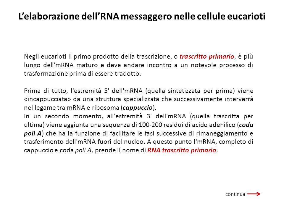 Negli eucarioti il primo prodotto della trascrizione, o trascritto primario, è più lungo dellmRNA maturo e deve andare incontro a un notevole processo