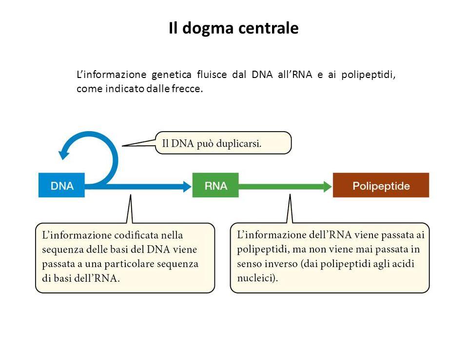 Linformazione genetica fluisce dal DNA allRNA e ai polipeptidi, come indicato dalle frecce. Il dogma centrale