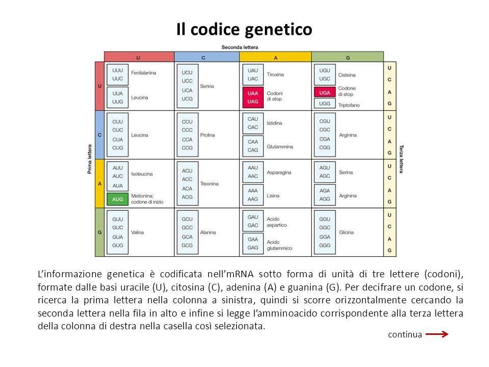 Il codice genetico Linformazione genetica è codificata nellmRNA sotto forma di unità di tre lettere (codoni), formate dalle basi uracile (U), citosina