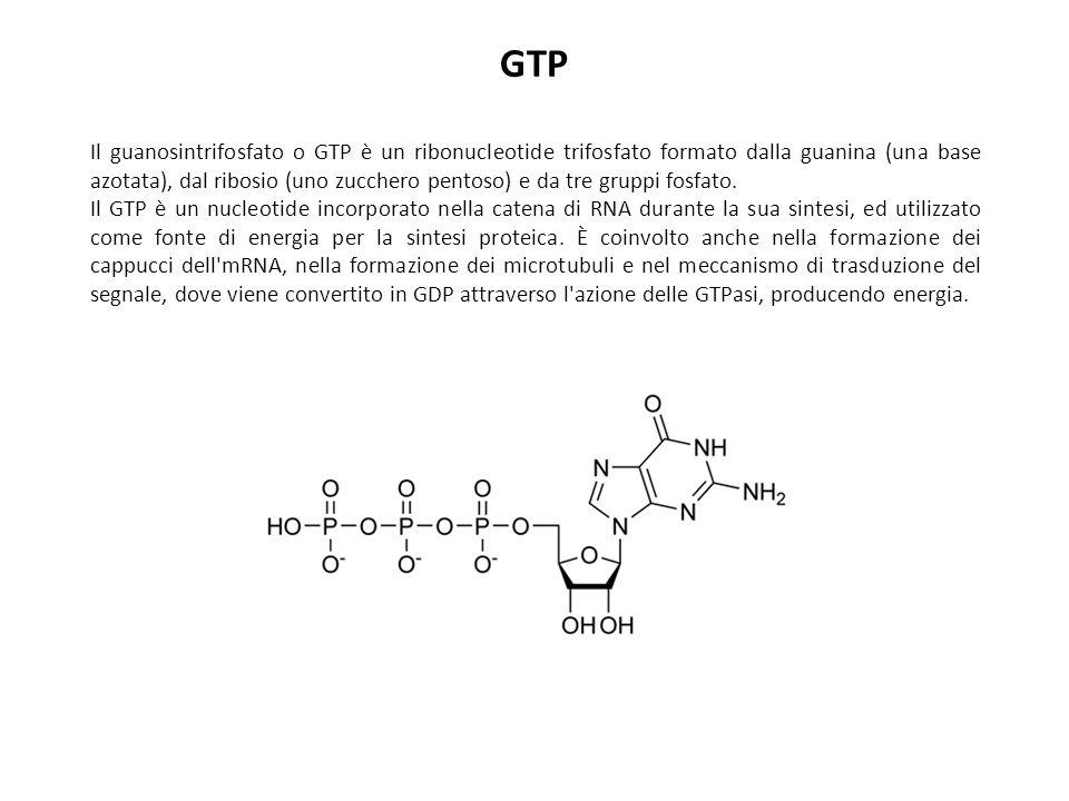 GTP Il guanosintrifosfato o GTP è un ribonucleotide trifosfato formato dalla guanina (una base azotata), dal ribosio (uno zucchero pentoso) e da tre g