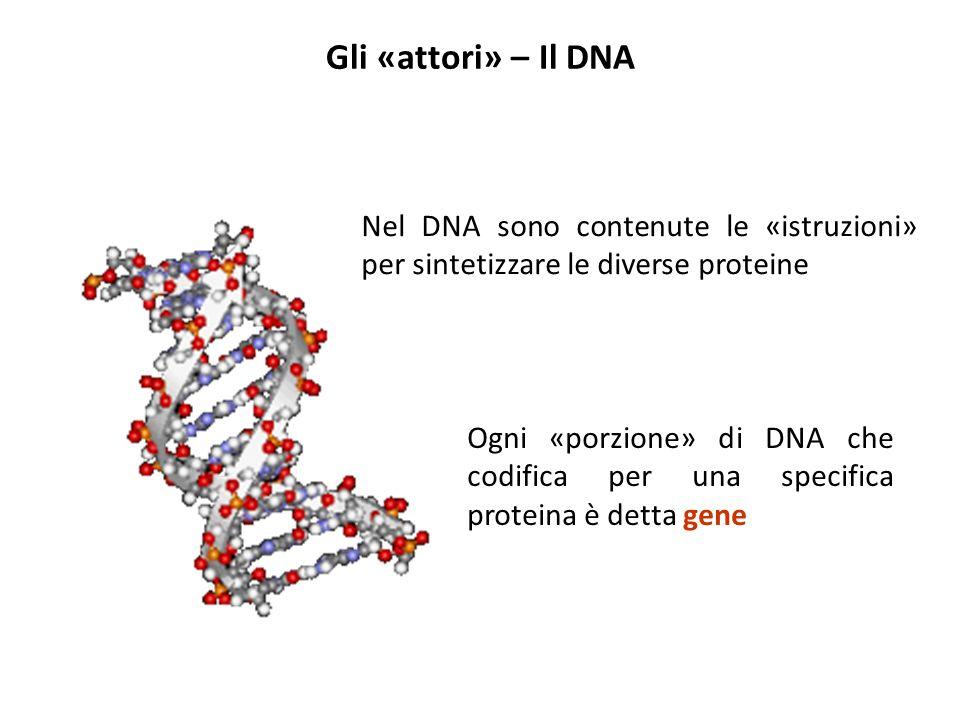 Gli «attori» – Il DNA Nel DNA sono contenute le «istruzioni» per sintetizzare le diverse proteine Ogni «porzione» di DNA che codifica per una specific