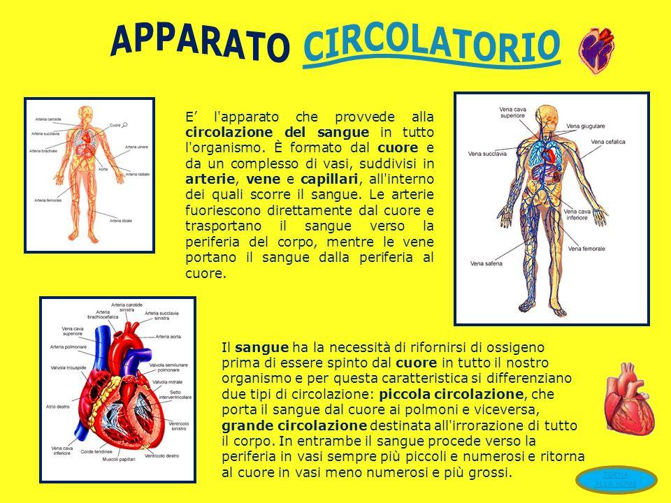 Nell uomo, il sistema scheletrico svolge importanti funzioni: sostiene il corpo, protegge alcuni organi vitali, per esempio il cervello, contenuto nella scatola cranica e permette il movimento.